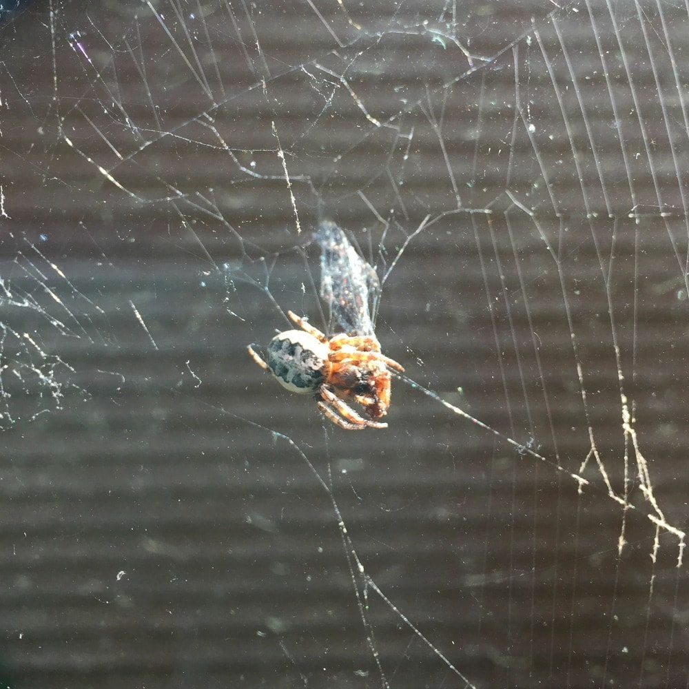 spider eating bug