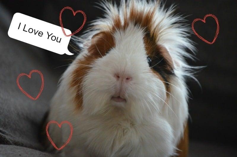guine pig love